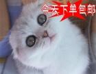 火爆直销折耳猫咪CFA猫舍 纯种健康当天包邮苏
