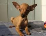 北京出售纯种小鹿犬活体幼犬长不大小型犬迷你