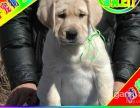 京津翼送狗上门 三个月包退包换拉拉犬 保终身签协议