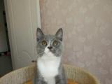 英国短毛蓝白小公猫三月龄