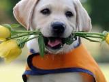 东营哈多利博美犬出售 小体博美幼犬