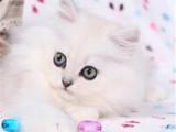 北京顺义精品金吉拉幼猫价格多少钱一只
