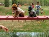 银川哪里有杜宾犬卖 纯种杜宾犬多少钱 CKU杜宾犬舍