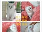《本地好猫舍》出售精品英短蓝猫 渐层 美短 加菲猫