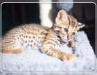 售后完善 质保无忧 出售纯种 孟加拉豹猫 可见父母 随时联系