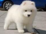 中山哪有萨摩耶犬卖 中山萨摩耶犬价格 中山萨摩耶犬多少钱