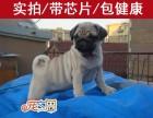 深圳哪里买狗好 首选深圳正规犬舍 巴哥幼犬价格优惠