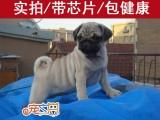 佛山哪里买巴哥犬必去 宠之恋犬舍 正规犬舍 巴哥幼犬价格