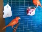 出售芙蓉鸟,辣椒红,正宗扬州黄