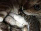 孟加拉豹猫 雪豹 金豹