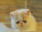 香猫满床猫舍6月份小猫正在出售