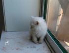 纯种纯白长毛双蓝色眼睛美女一枚波斯猫