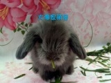 自家繁殖各种高品质宠物兔,求来围观!