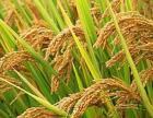 百分百纯天然无添加优质东北五常稻花香大米