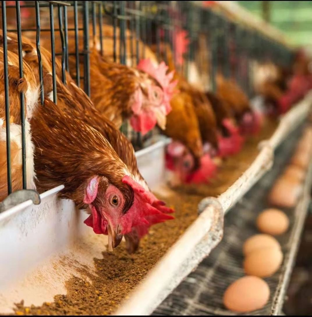 2020年青年鸡报价60日龄青年鸡报价