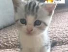 虎斑加白短毛猫