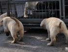 精品拉布拉多幼犬一证书齐全一血统纯正送用品签协议包活