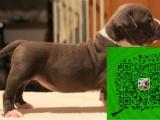 出售纯种赛级比特犬/签协议-保健康-可看父母可送