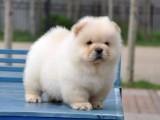 佛山哪里有出售松狮幼犬的 纯种松狮幼犬多少钱一只