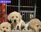 中山拉登血系导盲工作犬拉布拉多出售 大头大骨架拉布拉多