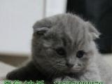 高品质 渐层,折耳蓝白、蓝猫、加菲待售啦