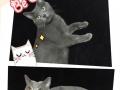 英短蓝猫 纯种活体幼猫宠物猫英国短毛猫纯种蓝猫纯家养健康保证