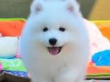 惠州狗场解散萨摩耶等二十多种宠物狗 500元 起售