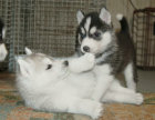 本地出售**哈士奇雪橇犬,三火蓝眼,疫苗全健康保证