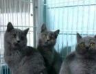 高品质的蓝猫母出售找新家了