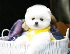 纯种哈多利球体博美 自家犬舍繁殖 签健康协议保健康