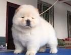 天水纯种松狮怎么卖 天水白色松狮犬价格 黄色松狮价格