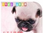 实拍正宗巴哥犬纯种八哥幼犬 哈巴狗宠物赛级疫苗做巴哥犬(pu