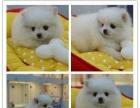 犬舍繁殖/纯种【博美】/签订协议/质保三年/免费送