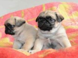 巴哥賣 機構認證犬舍巴哥犬繁殖完美售后服務