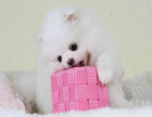 一只博美多少錢 哪里有賣博美犬的