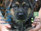 有没有卖带血统的德国牧羊犬黑背要包健康包纯种的
