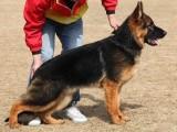 佛山买狗去哪里 南海区哪里有卖德国牧羊犬 德国牧羊犬价格多少
