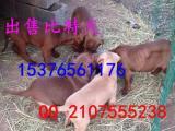 常州地区 哪里有幼犬比特出售 狗粮多少钱一斤