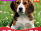 本地出售纯种比格幼犬,十年信誉有保障