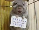 魔王松鼠幼鼠