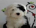大明星戚薇最爱古牧犬 疫苗做齐纯种健康签协议保健康欢迎挑选