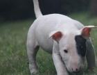 纯种的牛头梗幼犬出售 三针做齐图片都是现有的实物