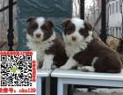 重庆边境牧羊犬什么价格求购 智商第一的边牧宠物狗养殖交易