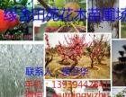 腾地急售金丝垂柳栾树、小叶女贞造型树