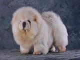 高品质松狮幼犬 毛量爆好 纯种肉嘴松狮 宠物狗活体