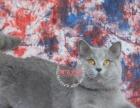 英短蓝白蓝猫DDMM求富养 小猫预定中