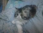 波斯系加菲猫低价出售