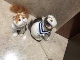 纯白蓝眼大脸加菲猫幼崽可爱波斯猫活物异国短毛猫