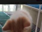 纯种异国短毛加菲猫红梵妹妹