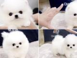 上海本地 出售博美犬,簽合同包健康純種,本地可送貨上門